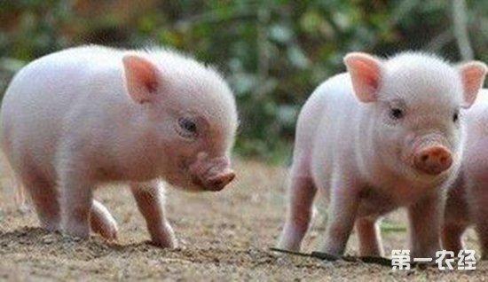 猪得了脑炎要怎么办?猪脑炎的防治措施