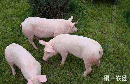 母猪产仔少的原因以及解决办法