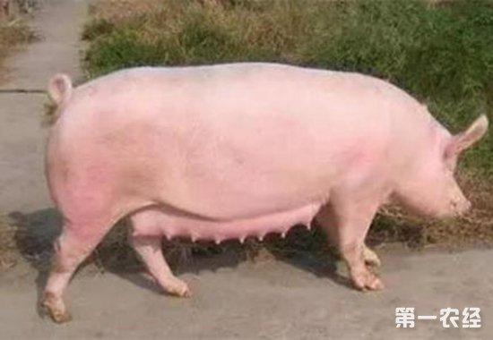 母猪产奶少要怎么办?母猪的催奶方法