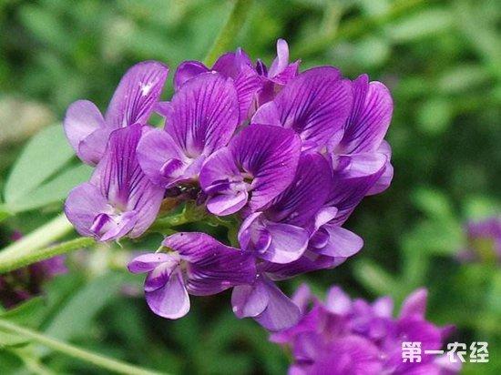 紫花苜蓿通过航天诱变育种技术培育出新品种