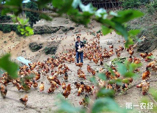 喂鸡四大误区:这几个错误配比会导致鸡腹泻