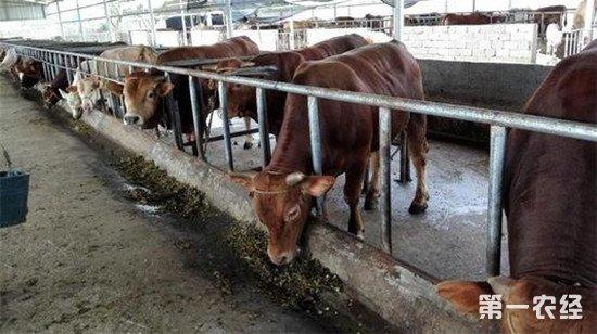 用青贮喂牛要注意些什么?青贮喂牛注意事项