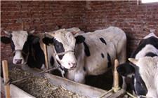 夏天牛食量下降怎么办?增加牛食欲的方法