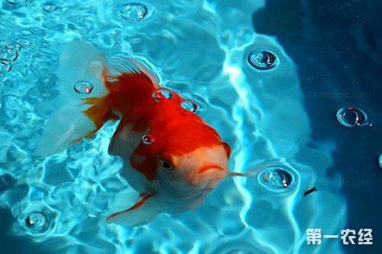 观赏鱼养殖技巧:金鱼的养殖注意事项