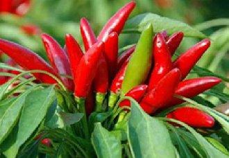 贵州毕节市成立辣椒协会 推动辣椒产业发展