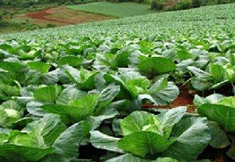 广西桂林进行冬季蔬菜生产管理 保障市场供应