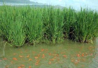 """广东惠州围岭村计划试种""""巨型稻"""" 有效推动当地农业发展"""