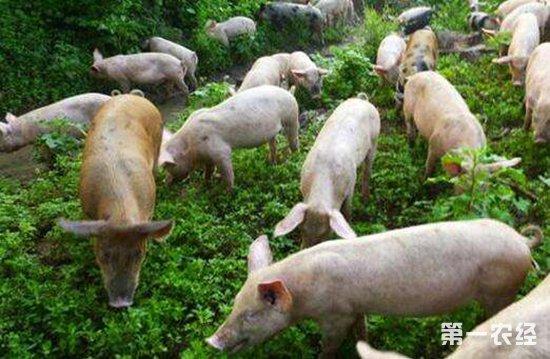 后备母猪要怎么养?后备母猪的饲养技术