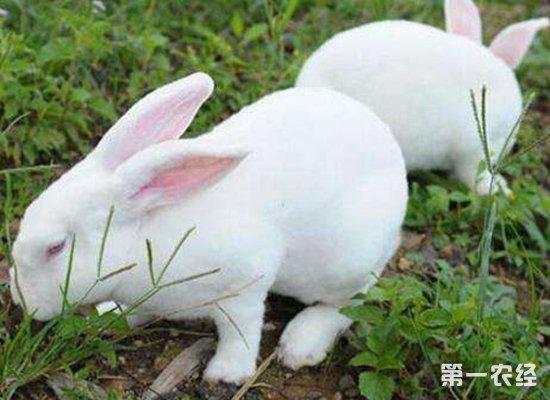 """兔子是他致富道路上的""""助力者"""""""