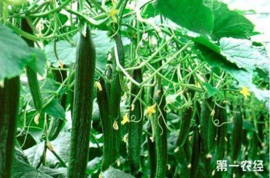 黄瓜红粉病的症状、病因以及防治措施