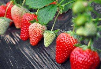 红颜草莓炭疽病的症状以及防治措施