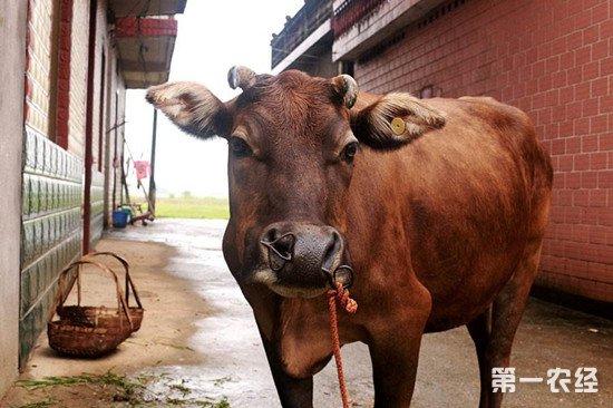 牛误食铁丝怎么办?将铁丝取出的方法