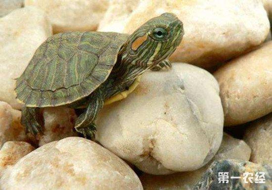 宠物龟如何安全过冬?做好加温是关键