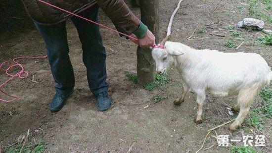 羊受伤了怎么办?羊外伤的处理方法