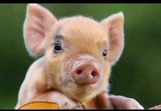 <b>北方猪价有回暖迹象,或将小幅上涨</b>