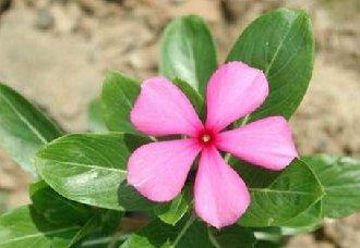 花卉猝倒病的症状以及防治措施