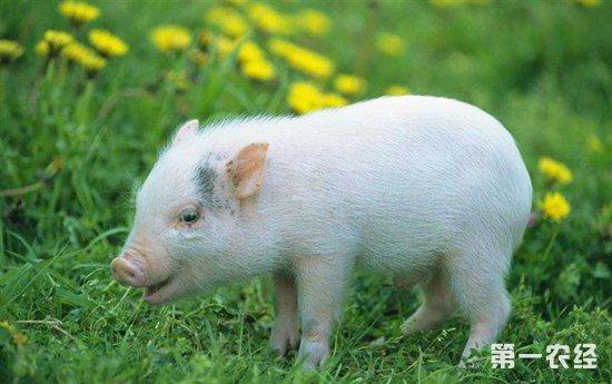 要怎么给仔猪断尾?仔猪断尾的方法