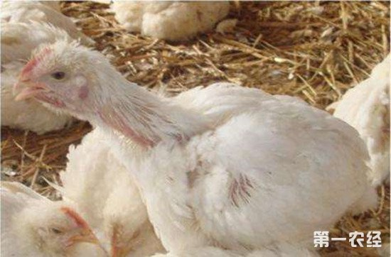鸡慢性呼吸道病的症状和防治方法