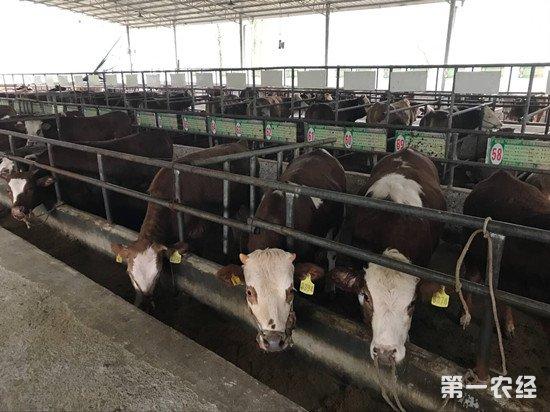 牛的育肥技巧 做好这几点让牛长得更快