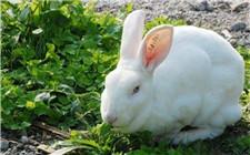 兔子养殖技术:兔子饲喂注意事项