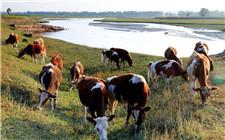 肉牛秋季育肥技巧 做好这几点是关键