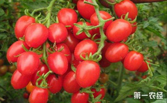 千禧小番茄