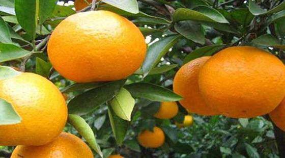 """四川""""眉山春橘""""已成为全市晚熟柑桔区域品牌 将抢占国内外市场"""