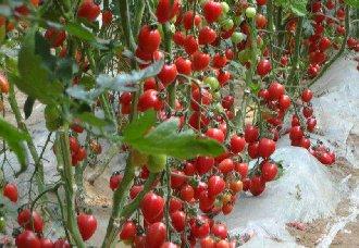 北京小汤山引进各个国家20个樱桃番茄优质品种进行种植