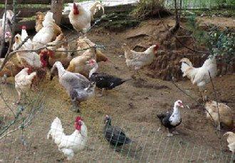 家禽饮水喂药效果不明显的原因