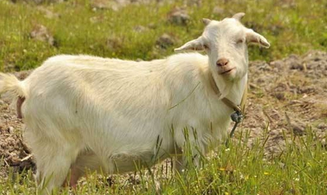 羊群近亲交配的危害及预防措施