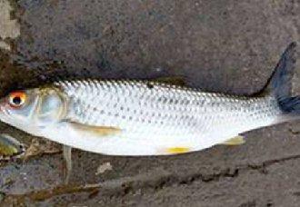 <b>赤眼鳟鱼要怎么养?赤眼鳟鱼的养殖技术</b>