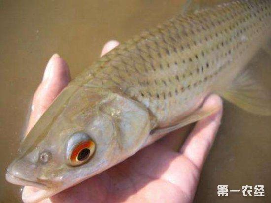 赤眼鳟鱼要怎么养?赤眼鳟鱼的养殖技术