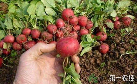 樱桃萝卜怎么种?樱桃萝卜的种植技术