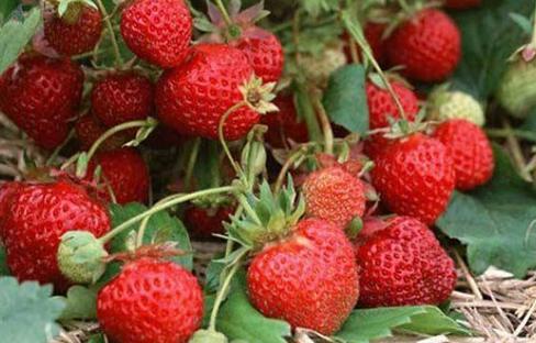 盐碱地上种草莓,农民脱贫又增收