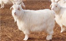 怎么提高绒山羊羊毛的质量?这几种方法要记牢