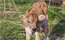 犊牛成活率低怎么办?这几个方面你做好了吗?