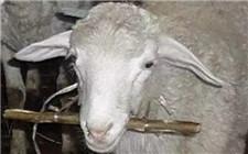 羊瘤胃出现酸中毒的原因及解决方法