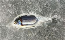 冬季冻死的鱼如何处理?冻死鱼的正确处理方法