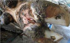 牛蹄腐烂是什么病?牛腐蹄病的治疗方法