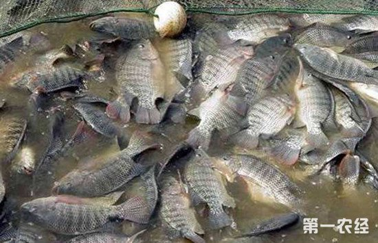 罗非鱼如何安全越冬?罗非鱼越冬注意事项