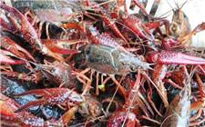 如何养小龙虾才能高产?小龙虾高产的几个技巧