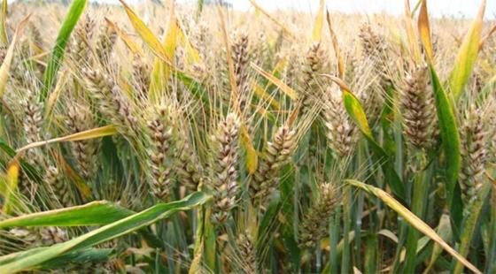 山东为确保小麦安全越冬 专家提醒需做好麦田冬季管理