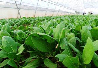 江西南城县大力发展蔬菜产业 全面提升蔬菜产品档次
