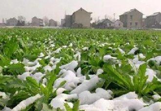 广西钦州为确保市场供应需求 已做好蔬菜种植防寒保暖工作
