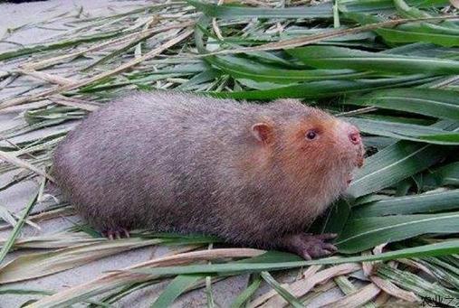 广西百色:竹鼠带旺了村民们的增收路