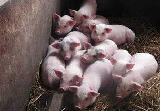 猪价要下跌到什么时候?何时才能涨?