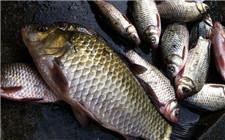 如何做好鱼的越冬准备 这些工作你都做好了吗?
