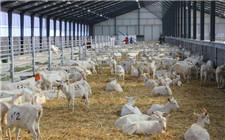 肉羊养殖注意事项 养殖肉羊一定要注意这几点