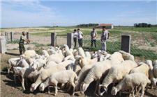 秋季养羊育肥注意事项 一定要做好这四点