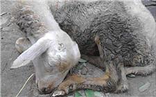 羊贫血有哪些症状?如何进行防范和治疗